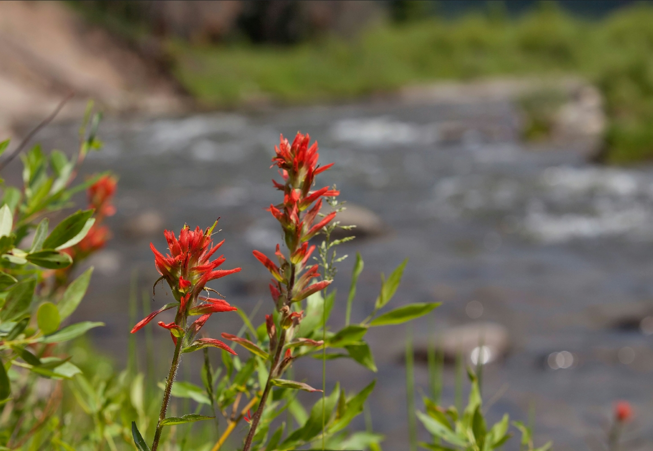 Indian Paintbrush on the Wind River
